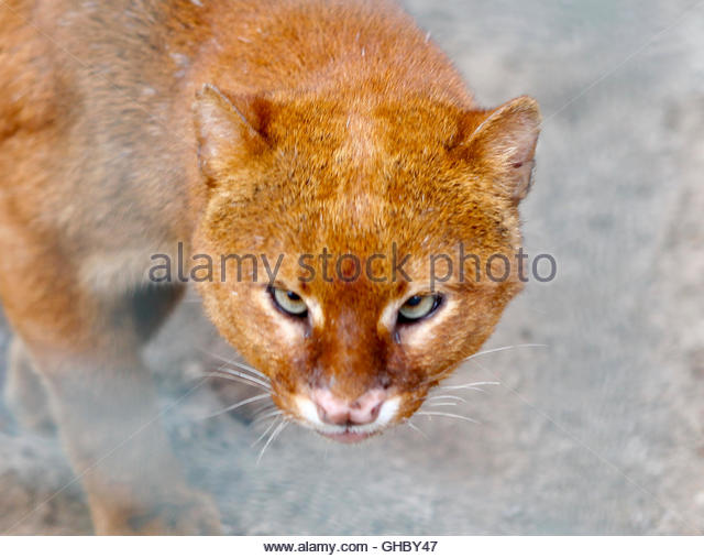 Frank, the eyra or jaguarundi, which is a type of wild cat, is pictured in a zoo in the town of Delitzsch, north - Stock Image