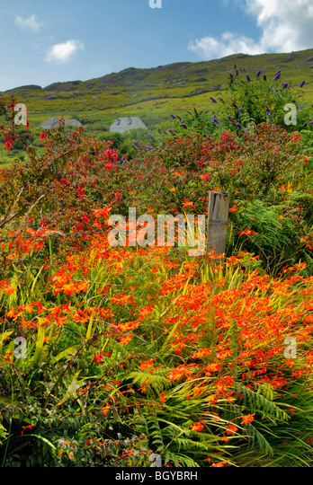 Wildflowers in a country scene Killarney Ireland - Stock Image