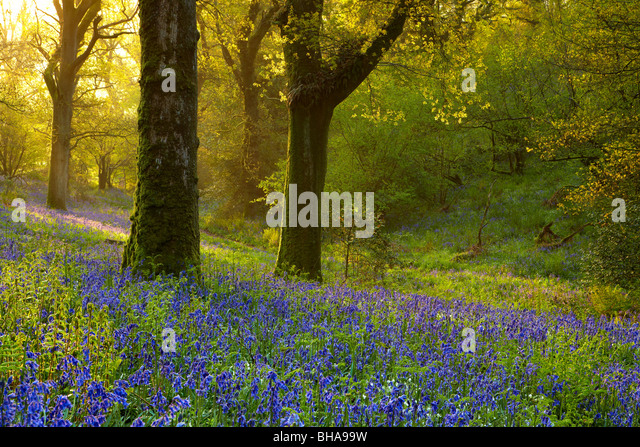 bluebells in the woods at Batcombe at dawn, Dorset, England, UK - Stock Image
