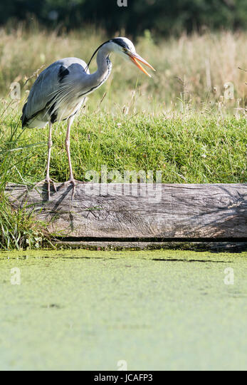 grey heron looking for food on the bank of a stream in Bushy Park, west London, UK - Stock Image