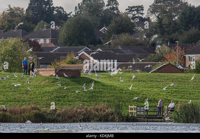Melton Mowbray, UK. 14th October, 2017: Flock of Black headed Gull return to their annual winter feeding ground, - Stock Image