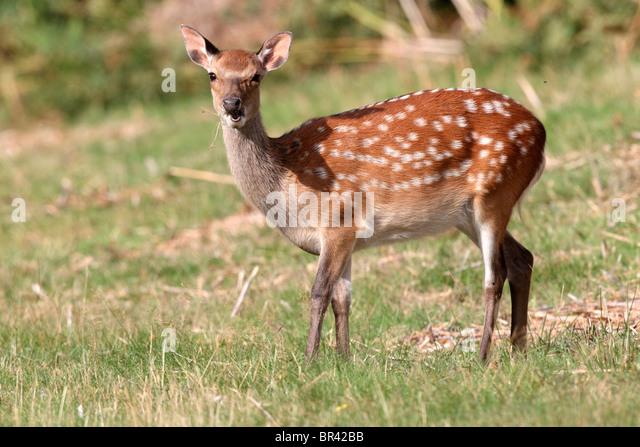 Sika deer, Cervus nippon, single deer, September 2010 - Stock Image
