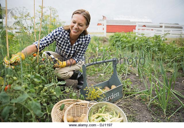 Smiling senior woman harvesting vegetables - Stock Image