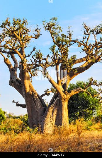 famous baobab tree in Senegal, Africa - Stock Image