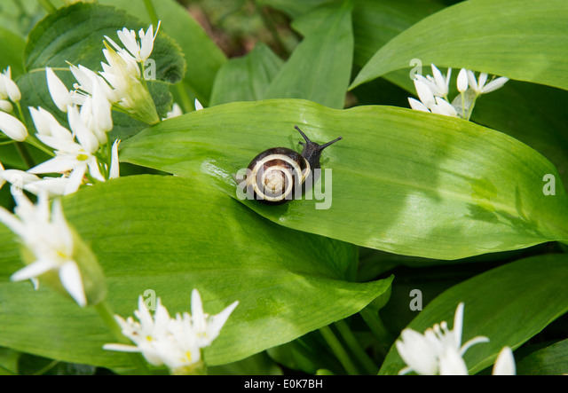 Ramsons or Wild Garlic (Allium ursinum) flowers and leaves with snail Castle Howard North Yorkshire England UK Europe - Stock Image