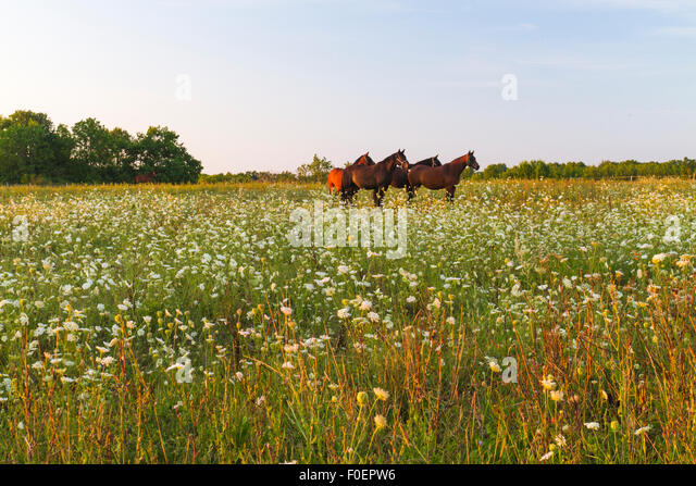 Four horses standing on a meadow with flowers in sunset on Gotland, Sweden - Stock Image