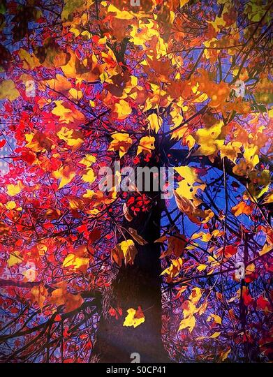 Colorful tree in autumn - Stock Image