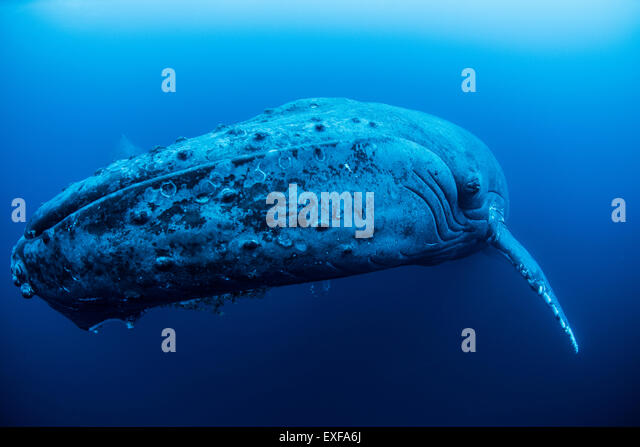 A female humpback resting in the depths around Roca Partida Island, Mexico - Stock Image