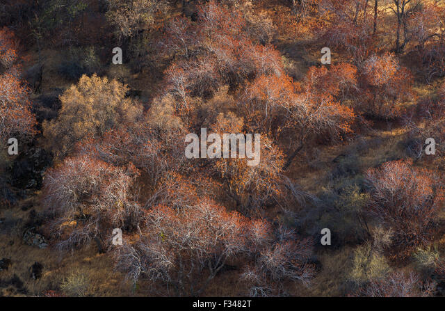buckeye trees catching the late afternoon light, Sequoia National Park, California, USA - Stock Image