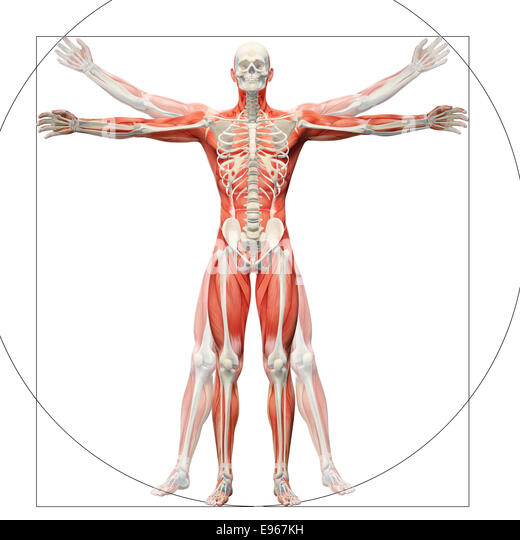 Human anatomy displayed as the vitruvian man by Leonardo da Vinci - Stock Image