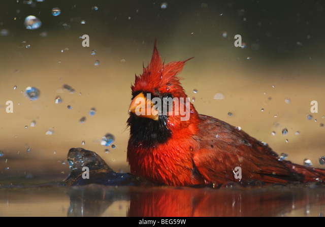 Northern Cardinal (Cardinalis cardinalis),male bathing, Rio Grande Valley, Texas, USA - Stock-Bilder