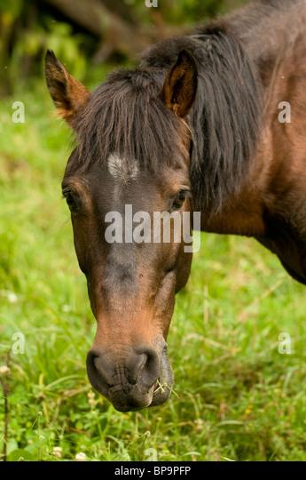Horse grazing, Alto Mayo, Peru - Stock Image