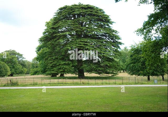 cedar of Lebanon (Cedrus libani), single tree - Stock Image
