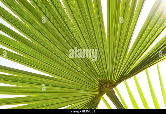 green palm leaf - Stock Image