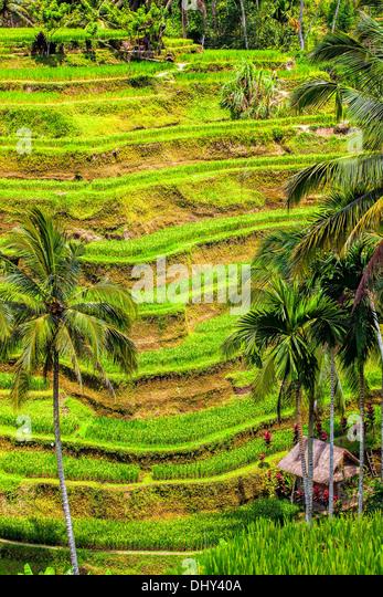 Rice Terrace - Stock-Bilder