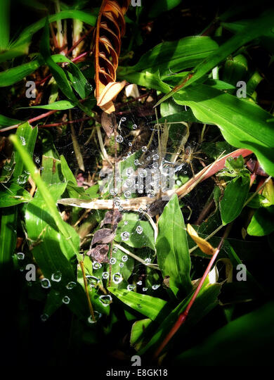 Indonesia, Special Region of Yogyakarta, Drops on spider web - Stock Image