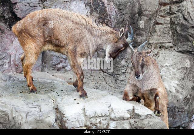 Really High Goat Mountain Goat Hooves S...