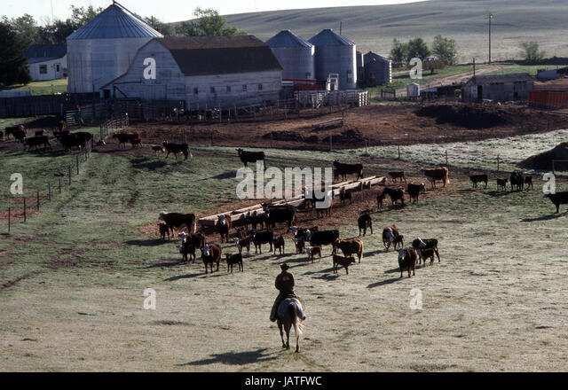 Cowboy on his horse approaching his cattle on a ranch in the Midwest of America - Stock Image
