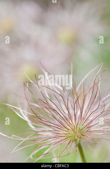 Pulsatilla vulgaris, Pasque flower, Grey subject. - Stock Image