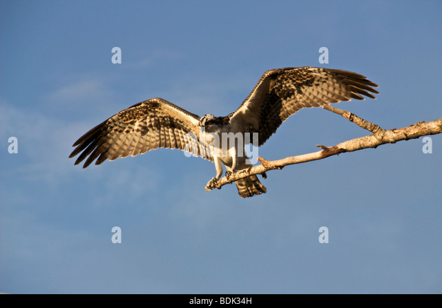 Osprey perched stock photos osprey perched stock images for Fish hawk fl