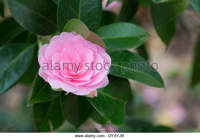 Anthemis Plants  Letters