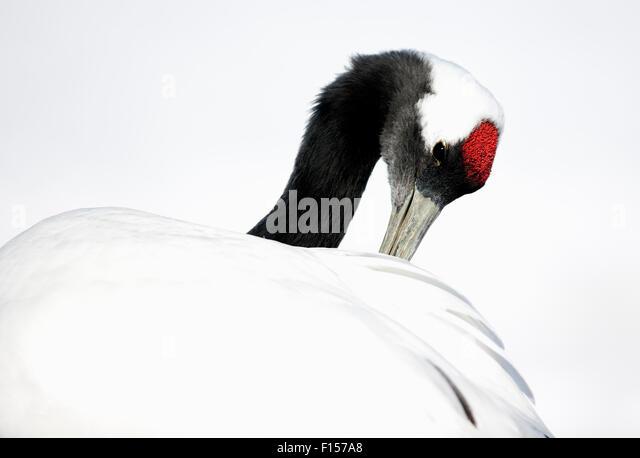Red-crowned Crane (Grus japonensis)  preening in snow,Hokkaido, Japan, February - Stock Image