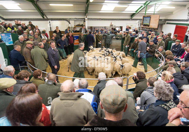 Mule gimmer lambs selling at Hawes auction, North Yorkshire, UK. - Stock Image