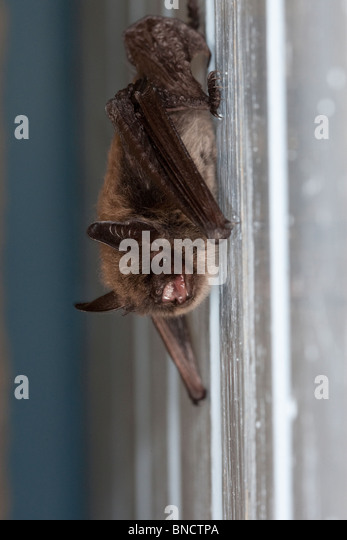 Common pipistrelle, roosting behind window shutters in the Auvergne, France. - Stock Image