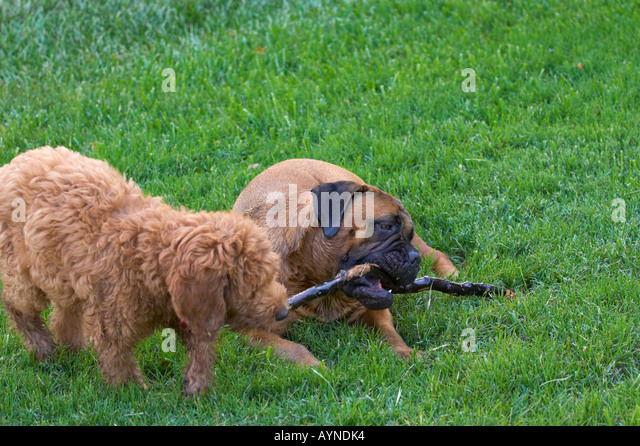 fawn bullmastiff stock photos fawn bullmastiff stock images alamy. Black Bedroom Furniture Sets. Home Design Ideas