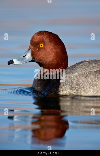 Redhead (Aythya americana) swimming, Clark County, Nevada, United States of America, North America - Stock Image