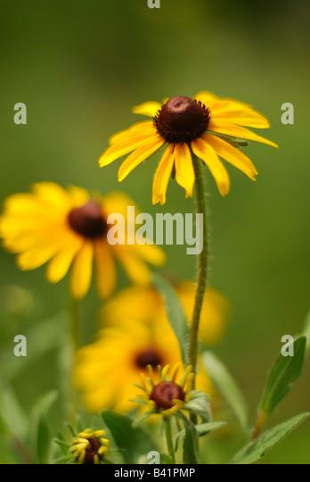 Black Eyed Susans in a Prairie Garden - Stock Image