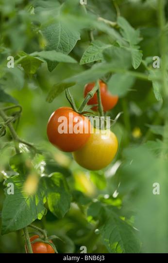 Organic farming - Stock Image