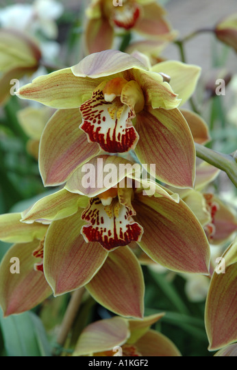 Cymbidium Sparkie Polychrome Tropical orchid flowers - Stock Image
