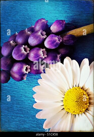Daisy and grape hyacinth on bright blue background - Stock-Bilder