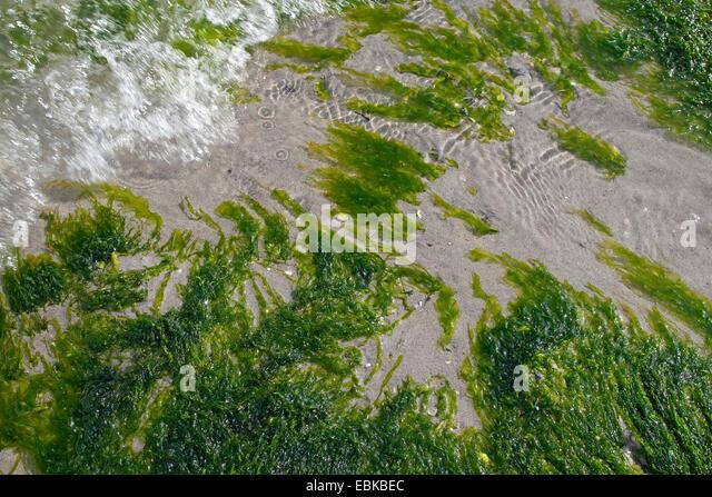 Green macroalgae, Seaweed, gutweed, gut-weed, gut weed, grass-kelp (Enteromorpha cf. compressa, Enteromorpha cf. - Stock Image