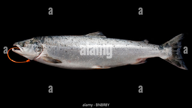 Wild Salmon, an oily fish high in protein, omega-3 fatty acids and vitamin D - Stock Image