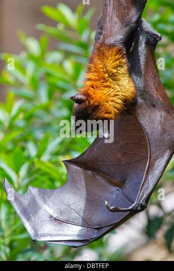 giant fruit bat fruit tree