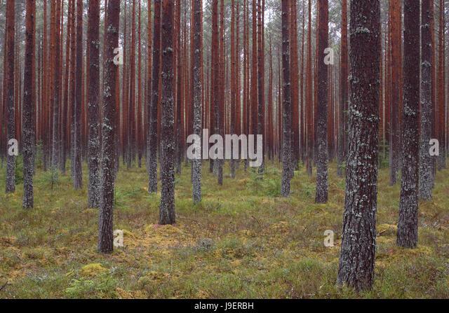 Pinewood In Alam-Pedja Nature Reserve, Estonia. 29th April 2017 - Stock Image