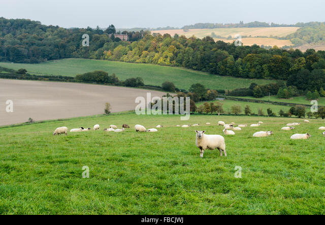 Sheep graze in The Chiltern Hills overlooking Hughenden Park, High Wycombe, England, United Kingdom. - Stock Image