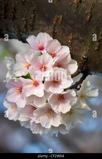 A sprig of Yoshino Japanese cherry blossoms in bloom. - Stock Image