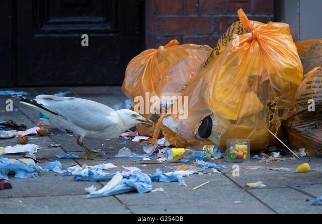 A seagull bird pecking at waste food in rubbish bags on the street. - Stock Image