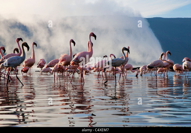 Lesser Flamingo (Phoenicopterus minor ) at Lake Bogoria's geyser and hot springs.Kenya - Stock Image