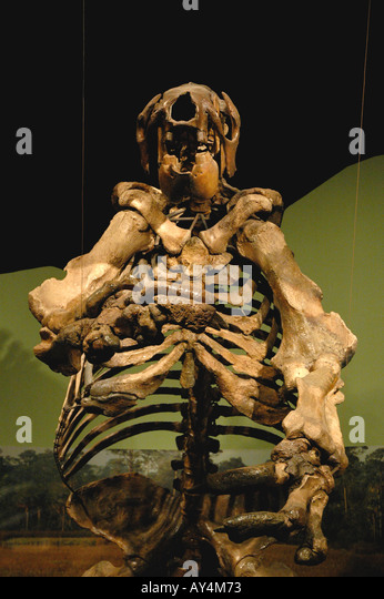 Giant Ground Sloth fossil large fierce prehistoric animal stands erect - Stock Image