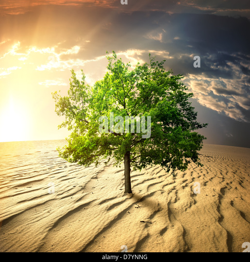 Green tree in the desert at sunset - Stock Image