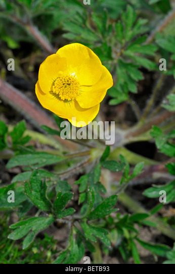 Bulbous buttercup / Saint Anthony's turnip (Ranunculus bulbosus) flowering in grassland - Stock Image