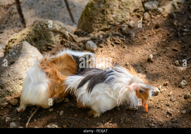 Nice and fluffy guinea pigs playing in a garden - Stock Image