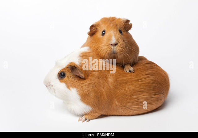 Two guinea Pigs on white background - Stock Image