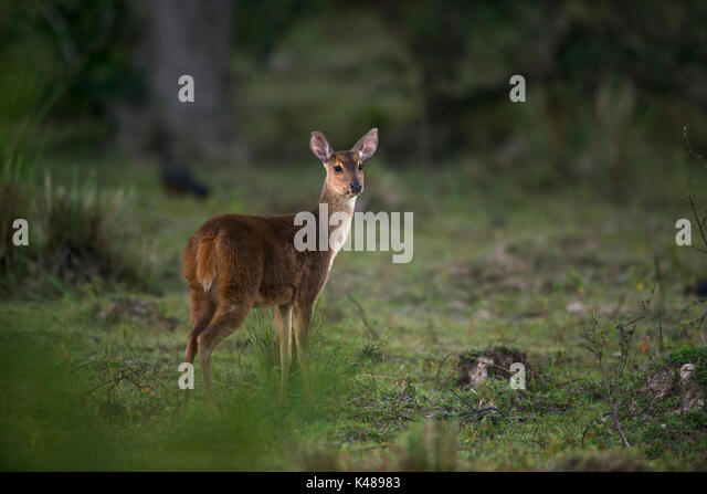Gray Brocket Deer (Mazama gouazoubira) from North Pantanal, Brazil - Stock Image
