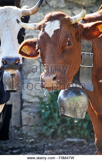 A cow wearing a bell - Stock Image