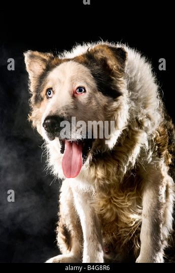 Mixed-Breed Sheepdog, portrait - Stock Image